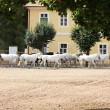 Stock Photo: Herd of horses, Oldkladruby horse