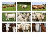 Cows collection — Stock Photo