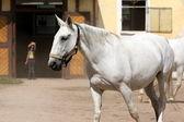 Kladruber, Oldkladruby horse — Stock Photo