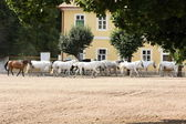 Herd of horses, Oldkladruby horse — Stock Photo