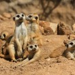 Stock Photo: Suricate or meerkat family