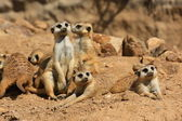 Suricate or meerkat family — Stock Photo