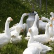 Domestic geese — Stockfoto