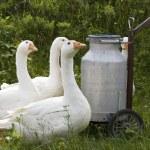 gansos domésticos — Foto de Stock   #2348689