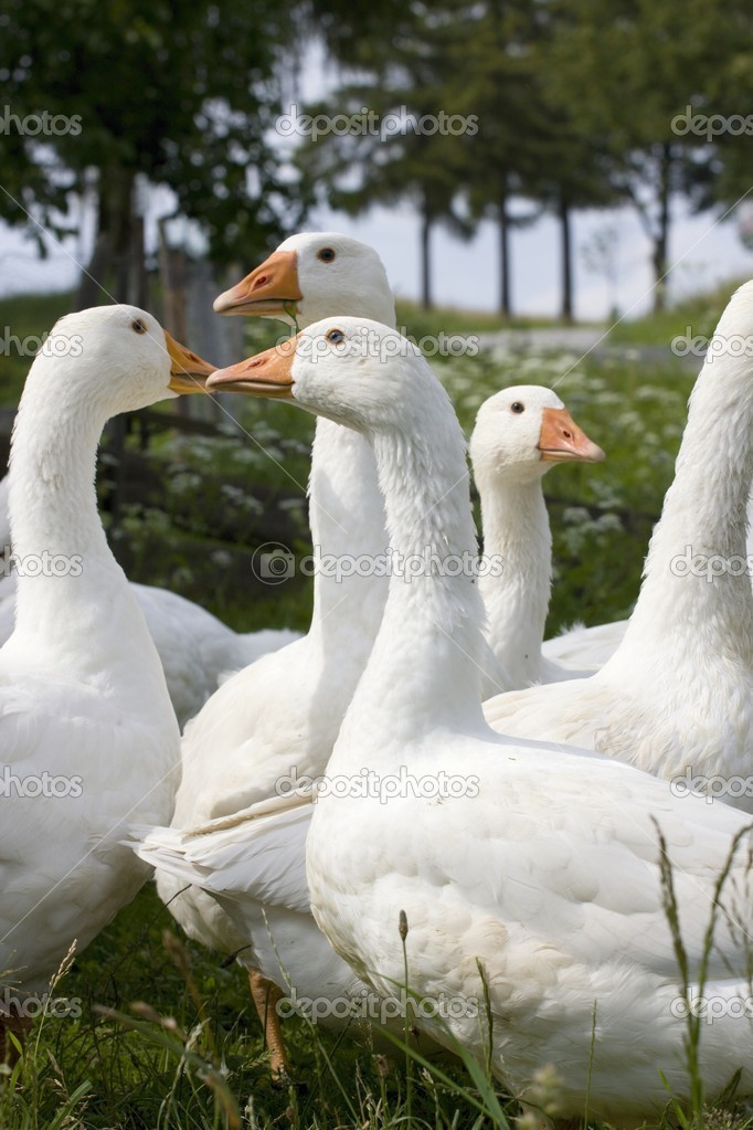 Domestic Geese in the garden in the countryside  Stock Photo #2347974