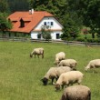 Cottage and sheep — Stock Photo #2350944