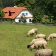 Cottage and sheep — Stock Photo