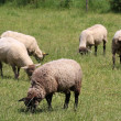 Stock Photo: Domestic Sheep