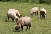 Domestic Sheep — Stock Photo