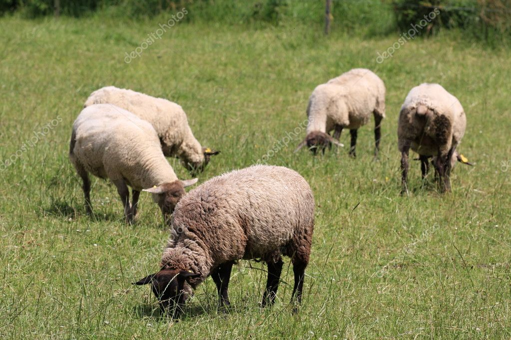Domestic sheep and green grass — Stock Photo #2351240