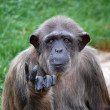 Chimpanzee — Stock Photo #2411373