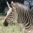Zebra — Stock Photo #2287627
