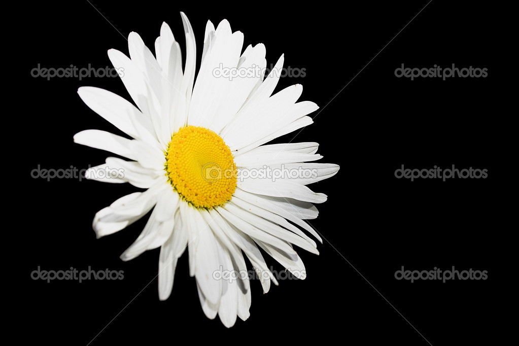  white flower isolated on black  Stock Photo #2287528