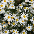 Meadow of flower  chamomile — Stock Photo