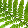 Royalty-Free Stock Photo: Fern leaf isolated on white