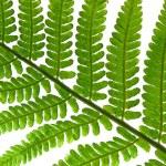 Fern leaf isolated on white — Stock Photo