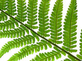 Fern leaf isolated on white — Stock Photo