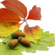 Acorn over color  autumn  leafs — Stock Photo