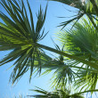 Palm leafes against blue sky — Stock Photo
