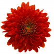Red daisy dahlia isolated close up — Stock Photo