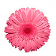 Flower daisy gerbera — Stock Photo