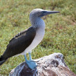 Stock Photo: Blue Footed Booby