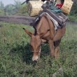 Mule with Load — Photo