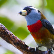Toucan Barbet — Stock Photo