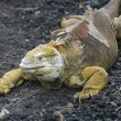 Stock Photo: Land Iguana