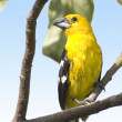 Southern Yellow Grosbeak — Stock Photo