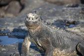 Marin Iguana — Stock Photo