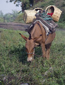 Mule with Load — Stock Photo