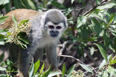 Squirrel Monkey — Stock Photo