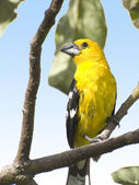 Southern Yellow Grosbeak — Stock Photo