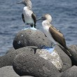 Stock Photo: Blue Footed Boobies