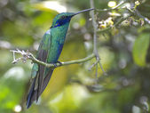 Sparkling Violetear — Stock Photo