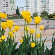 Yellow tulips against the town — Stock Photo