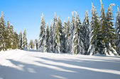 Winter landscape with conifers — Stock Photo