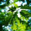 Green leaves of maple — Stock Photo