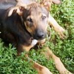 Mongrel dog lying on the grass — Stock Photo