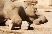 Sleeping elephant — Stock Photo