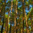 Tall pine trees - Stock Photo