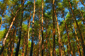 Tall pine trees — Stock Photo