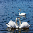 Three white swans — Stock Photo