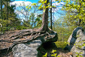 Spruce tree in the ROCK LABYRINTH — Stock Photo