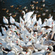 Swans and ducks gathering — Stock Photo