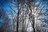 Sunbeam in blowing snow around trees — Stock Photo