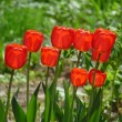 Tulip — Stock Photo #2612881
