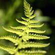 Fern close-up — Stock Photo
