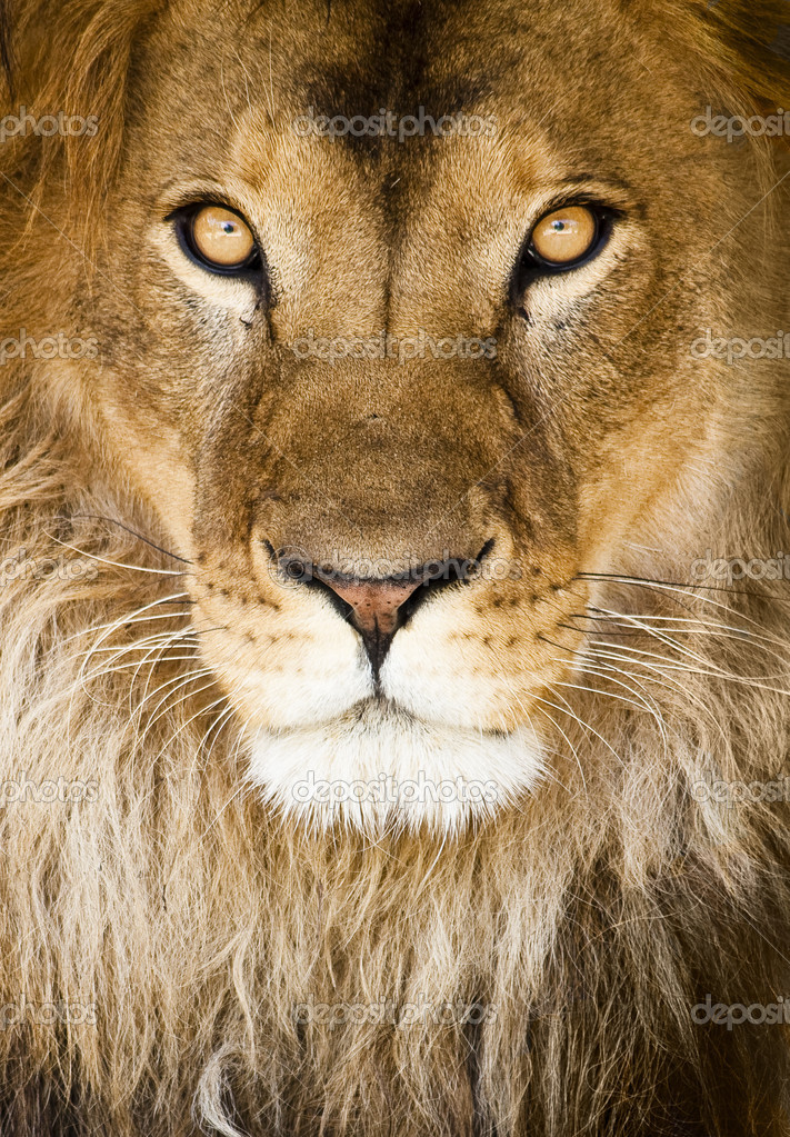 Male lion (Panthera leo), close-up — Stock Photo #2202106